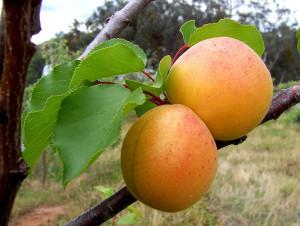 795px-Apricots