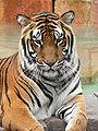 Bengáli tigris, az ország nemzeti állata