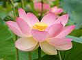 Lótusz az ország nemzeti virága