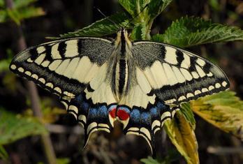 Pillangó - Fecskefarkú lepke
