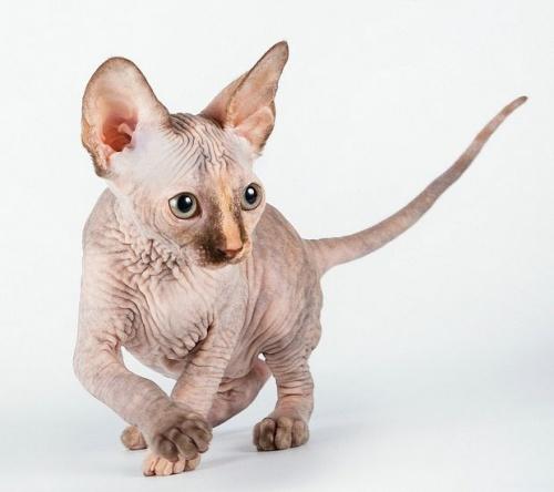 Barátságos szőrtelen szfinx macska Forrás:http://www.haziallat.hu/macska/macskafajtak/kopasz-baratsagos-macskafajta/5376/