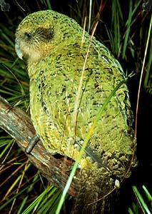 Bagolypapagály más néven Kakapó
