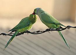 Kissándor papagáj