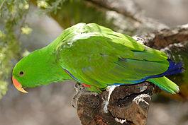 Nemes papagáj hím