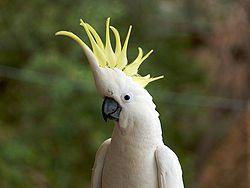 Sárgabóbitás kakadu