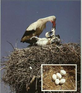 Fehér gólya fészke és tojásai
