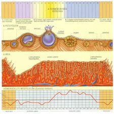 Menstruacios_ciklus