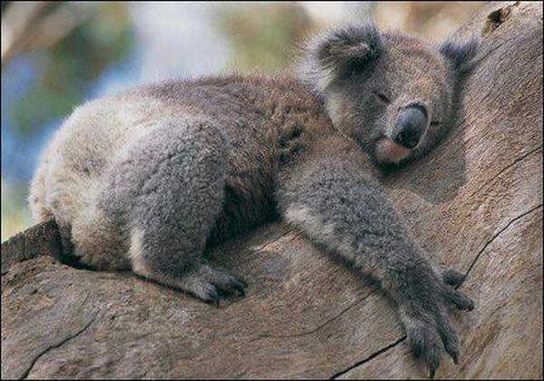 Cuki koala