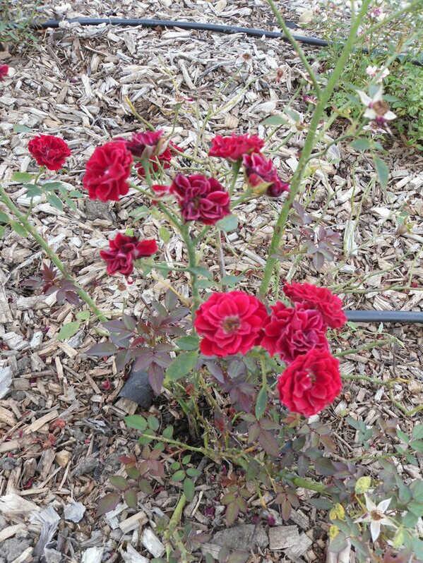 Mini rózsa2