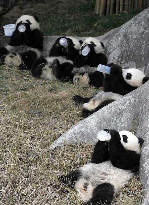 Panda ovi