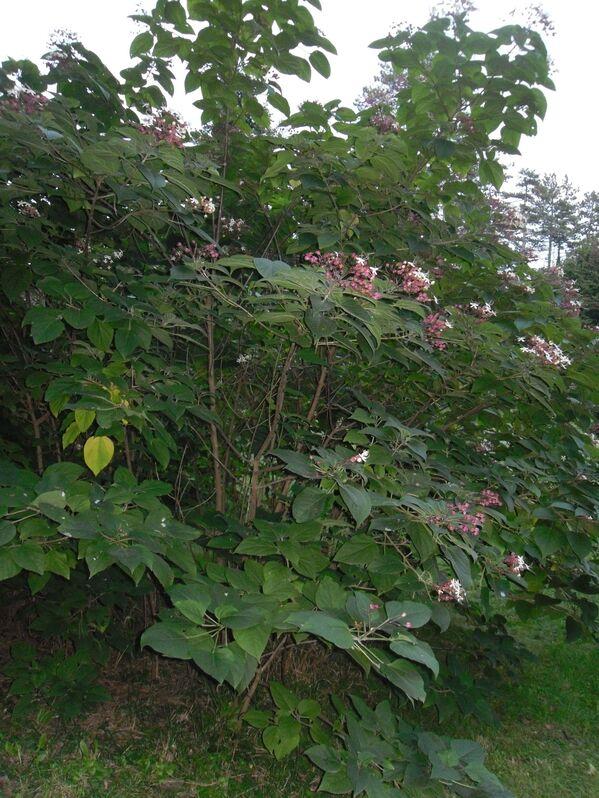 Virágzó végzetfa