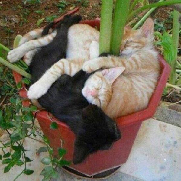 Cserépnyi macskák