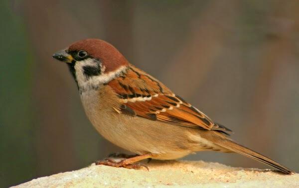 Környezetünk madarai a verebek