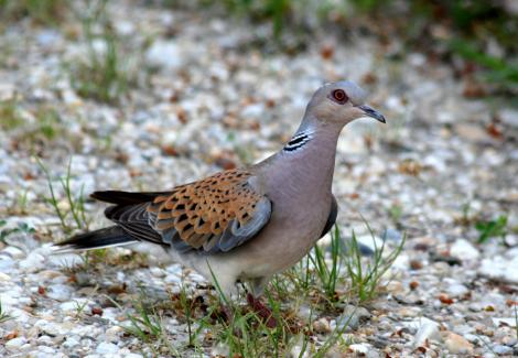 Környezetünk madarai a vad gerle