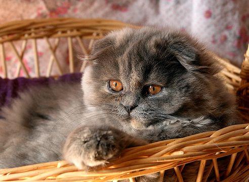 Fajtám, lógófülű cica