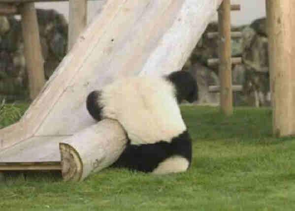 Panda baleset