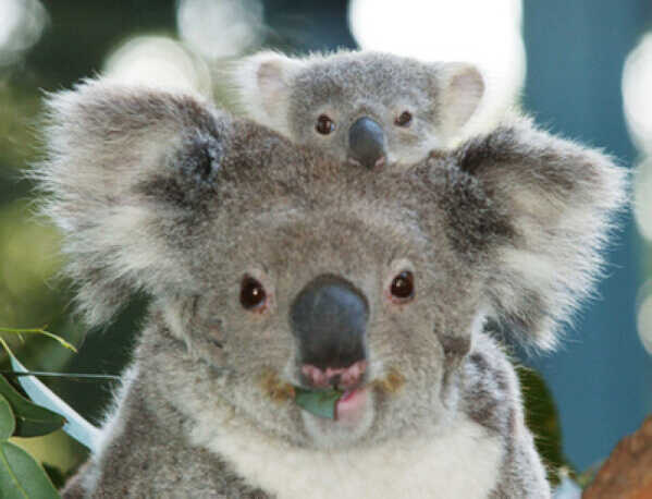 koala baba