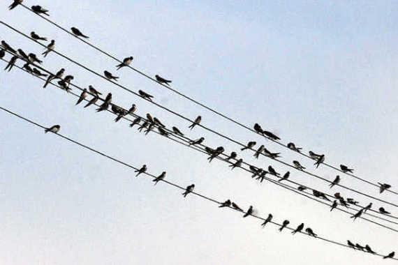 Állatvilág - Költözésre készülnek a fecskék