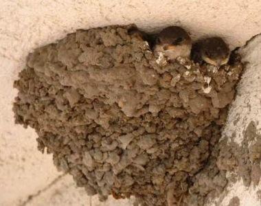 Molnárfecske fészke   (www.nimfea.hu)