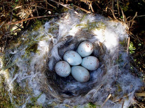 Tengelic fészekben a tojások.